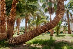 Palm grove and a palm tree unusual curved shape Stock Photos