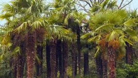 Palm Grove Palm Trees. Palm Grove. Palm trees with berries stock footage