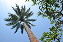 Palm grows in the blue sky. View under a palm tree at midday royalty free stock images