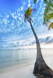 Palm in Guadeloupe. Single palm tree at Anse Champagne beach in Saint Francois, Guadeloupe, Caribbean Stock Photos