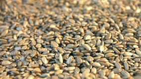 Shelled sunflower seeds. 2 Shots Slow motion. stock video footage