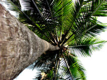 Palm Heights. Beautiful palm tree in the Indian Tropics Royalty Free Stock Photos