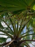 Palm het groeien aan de hemel royalty-vrije stock foto's