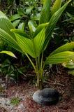 Palm het groeien van een kokosnoot Stock Fotografie