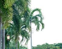 Palm in het park: Geïsoleerd op witte achtergrond stock afbeelding
