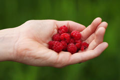 Palm holding wild raspberries on natural green bac. Woman palm holding red wild raspberries on natural green background Royalty Free Stock Image
