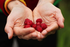 Palm holding wild raspberries on natural green bac. Woman palms holding red wild raspberries on natural green background Stock Photo