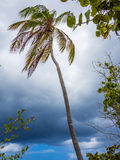 Palm at Hurricane Royalty Free Stock Images