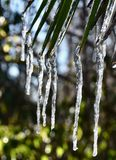 Palm icicles. In the garden Royalty Free Stock Photo