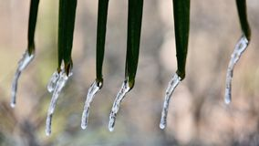 Palm icicles. In the garden Stock Images