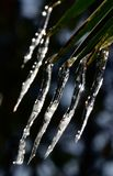 Palm icicles. In the garden Stock Photos