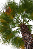 Palm isolated on white Stock Photo
