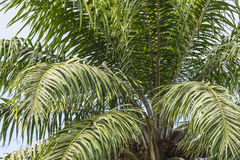 Palm in jungle. View of nice inclined palm on the blue sky background in the jungle of Gambia. Africa royalty free stock images