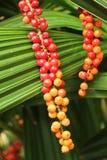 Palm kärnar ur på det gröna bladet. Royaltyfri Fotografi