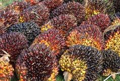 Palm kernel. Mature oil palm kernel fruits stock images
