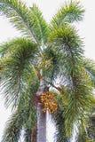 Palm kernel. On palm tree stock photo