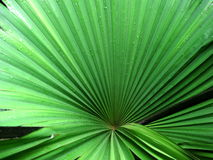 Palm - Kerriodoxa elegans Stock Photography