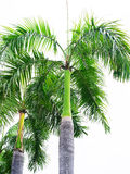 Palm king Stock Images