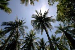 palm kokosowych Zdjęcie Stock