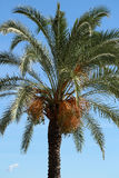 Palm with large green leaves Royalty Free Stock Image