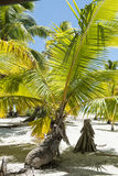 Palm with laying trunk. Palm with on the beach laying trunk on an Island in the Pacific Ocean Royalty Free Stock Image