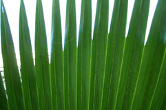 Palm leaf. Closeup of a palm leaf stock photo