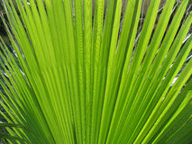 Palm leaf. Close up Stock Photo