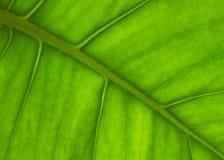 Palm leaf. Big green palm leaf like a background Stock Photos