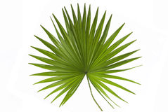 Free Palm Leaf Royalty Free Stock Images - 10914019