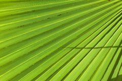 Palm leaf Royalty Free Stock Photo