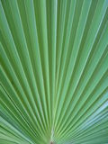 Palm leaf. The big and green palm leaf stock photography
