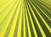 Palm leaf. Detail in Nettuno, Italy Royalty Free Stock Image