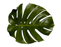 Free Palm Leaf Stock Photography - 13634482