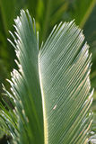 Palm leaf. A palm leaf Royalty Free Stock Image