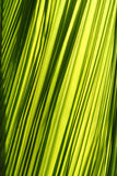 Palm leaf. Texture as backgroungd royalty free stock images