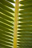 Palm Leaf. Closeup of a green palm leaf Royalty Free Stock Photos