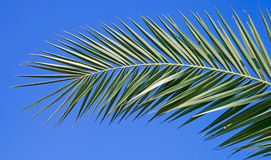 Palm leaf. Isolated on blue sky background Stock Image