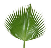 Palm Leaf Royalty Free Stock Photos