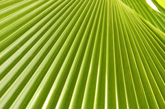 Palm Leaf. In malaysia Royalty Free Stock Photos