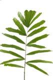 Palm leaf. Tropical palm leaf on white Stock Photos