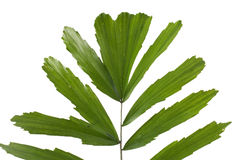 Palm leaf. A close up of a tropical palm Royalty Free Stock Photos