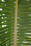 Palm Leaf. A beautiful palm frond in the sunlight royalty free stock image