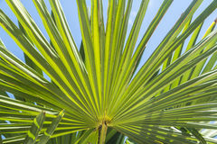 Palm leaf. Close view of a palm leaf illuminated by the sun Royalty Free Stock Photo
