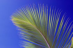 Palm leaf. Closeup of palm leaf in front of blue sky Stock Photography