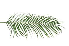 Palm leaf. Green palm leaf  on the white background Stock Image