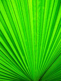 Palm leaf. Very green color Royalty Free Stock Images