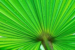 Palm Leaf. Closeup of a green palm leaf royalty free stock images