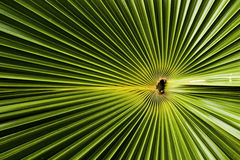 Palm Leaf. Green palm leaf creating an amazing pattern Stock Photography