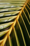 Palm leaf. Palm tree leaf background. Mild green and yellow colors Stock Image