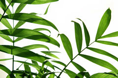 Palm leaf 5. Stock Photo